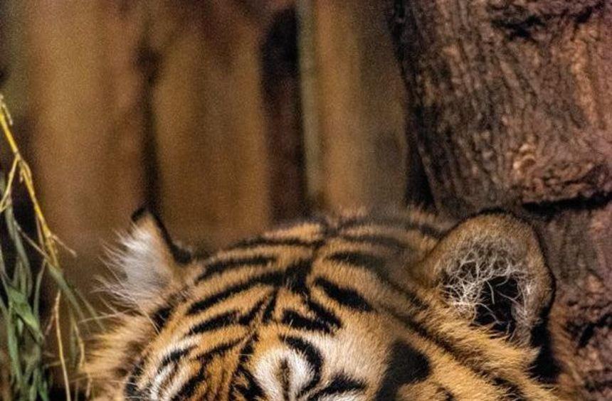 Tebo soll Tigerdame Tila künftig Gesellschaft leisten.