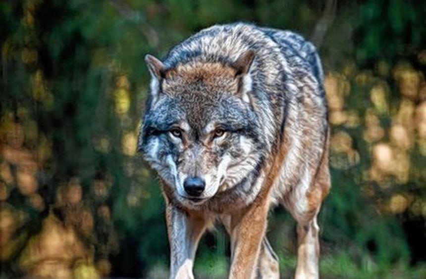 Warum meiden die Wölfe den Südwesten?