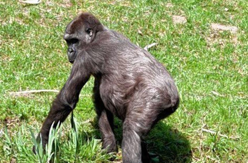 Gorilladame Shaila (hier ein Bild aus Arn-heim) lebt nun in Heidelberg.