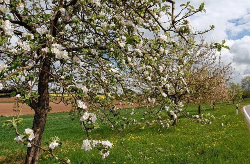 Die Streuobstwiesen stehen in den nächsten Wochen wieder in voller Blütenpracht. Gerade die ...
