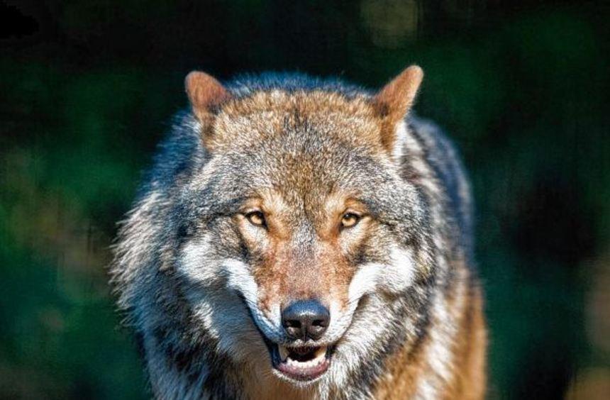 Der böse Wolf? Das sogenannte Rotkäppchen-Syndrom ist immer noch in vielen Köpfen. Beim Nabu ...