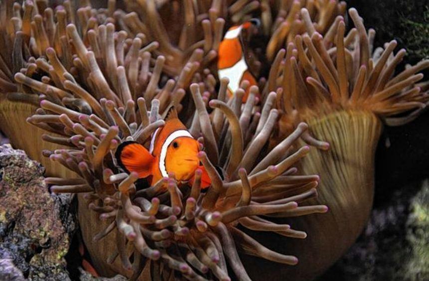 Anemonenfischewie diese sind in der Ausstellung zu sehen.