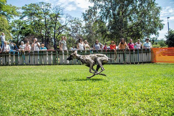 Knapp 60 Vierbeiner nahmen am Rennen des VdH zugunsten der Tour der Hoffnung teil - so wie dieser Windhund.