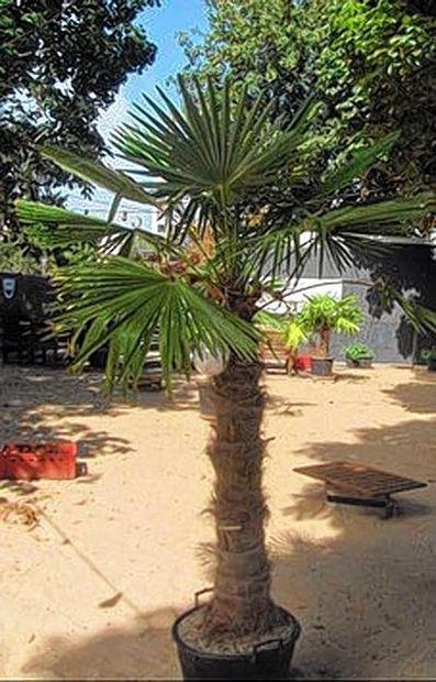 Diese rund zwei Meter große Palme wurde gestohlen.