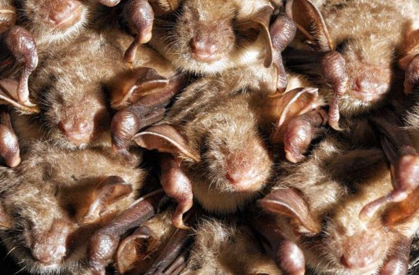 Eng an eng drängen sich hier die Fleder-mäuse.