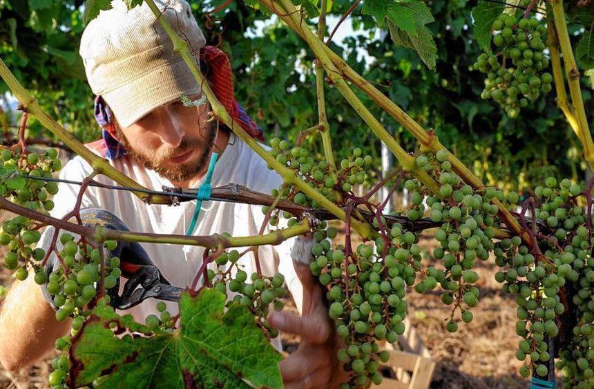 """Beim """"Maikammerer Weinerlebnis"""" können die Besucher erfahren, welche Geschmacksvariationen Trauben ..."""