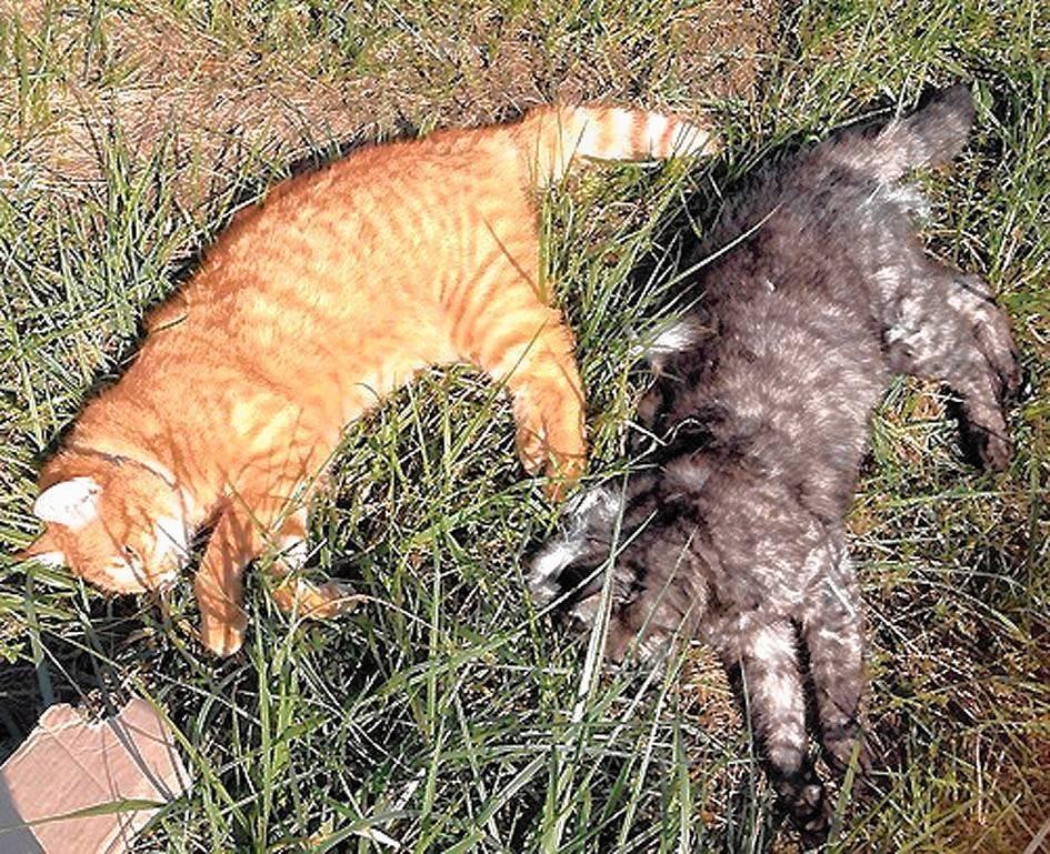 Tote Katze