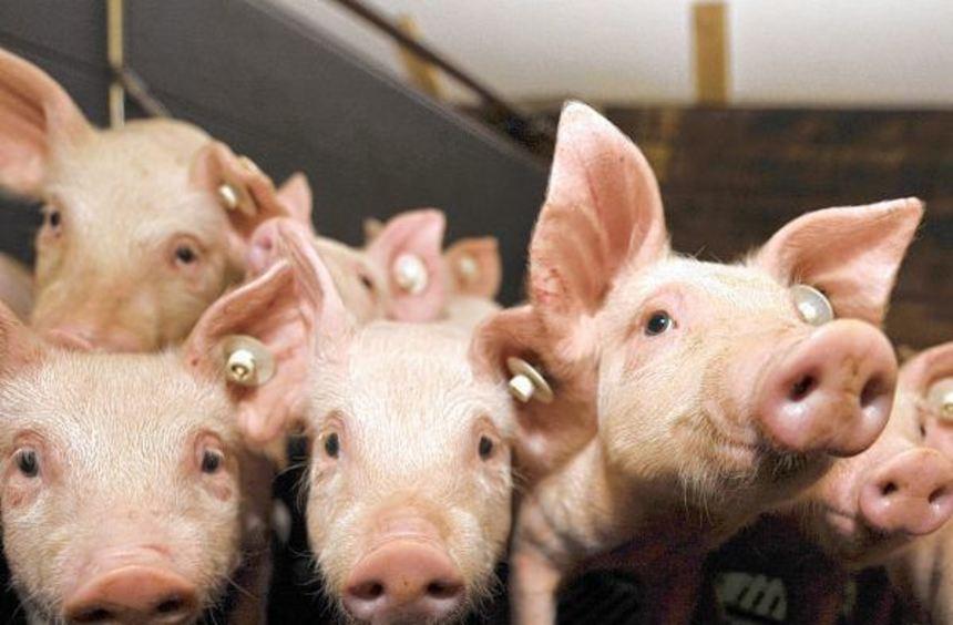 Dass Ferkel auf Spaltenböden ohne Stroh leben müssen, sehen Tierschützer als Verstoß gegen ...