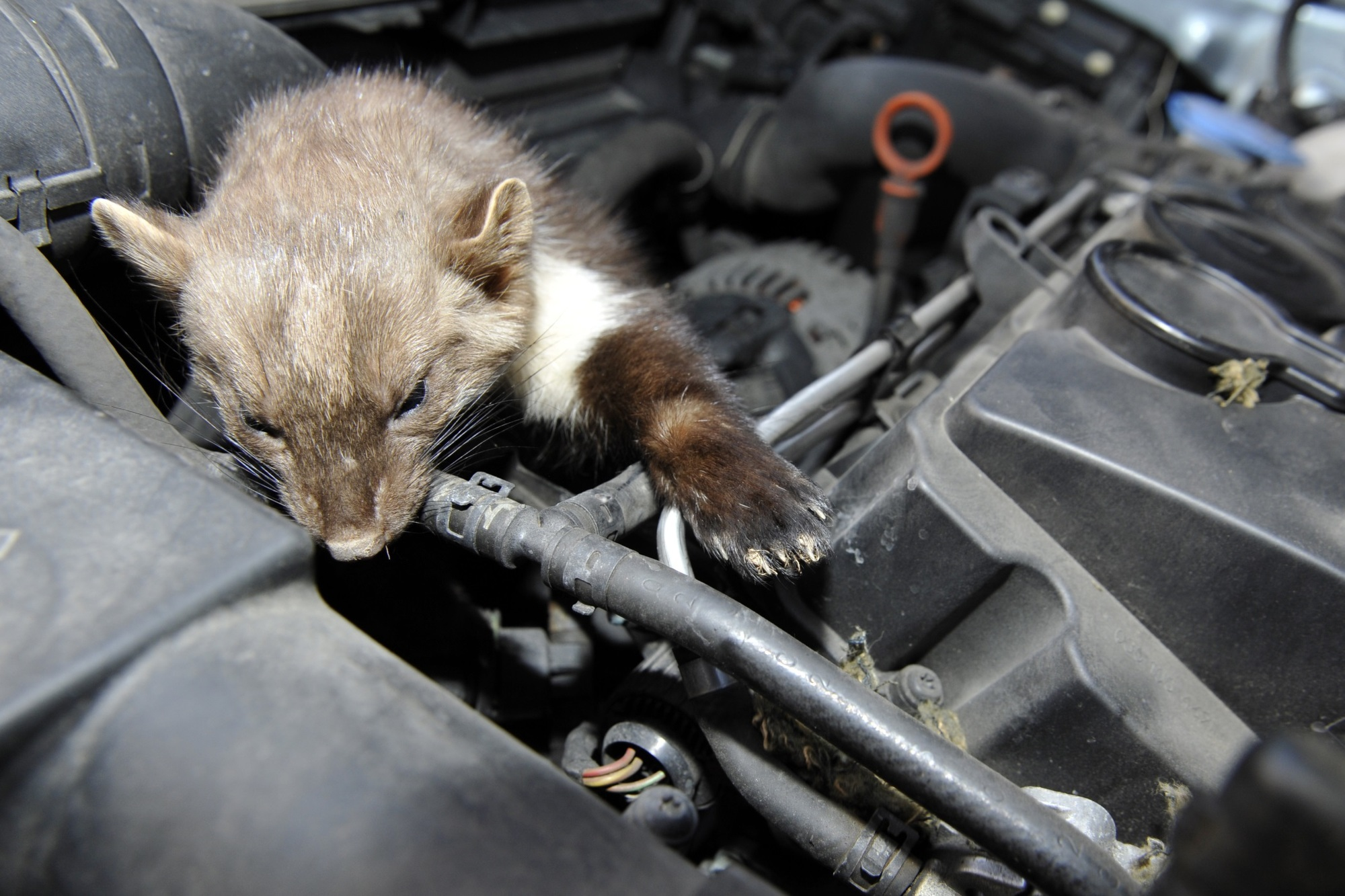 Ratgeber: So schützt man sein Auto vor Marderbissen - Hausmittelchen helfen nicht