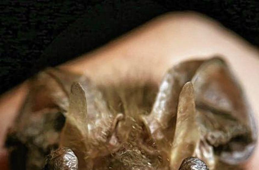 Fledermäuse könnten Ziel eines BUND-Nachtspaziergangs sein.