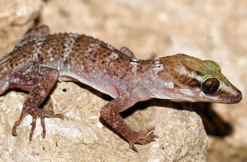 Den Bogenfingergecko gibt es, wie dieses Bild zeigt, auch lebendig. Zum Zeitpunkt der Aufnahme war ...
