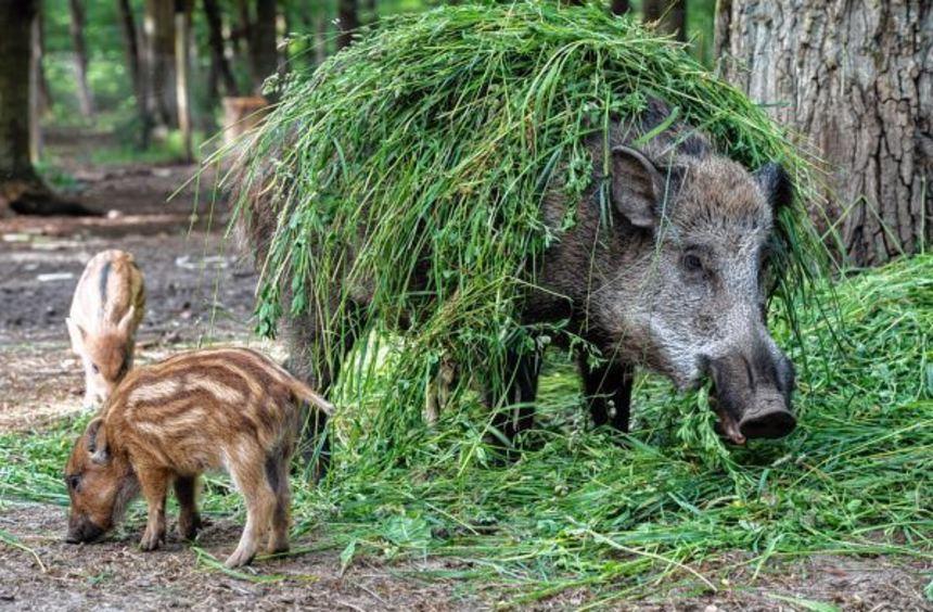 Wildschweine können die Besucher beim Familienfest aus nächster Nähe beobachten, wenn die kleinen ...