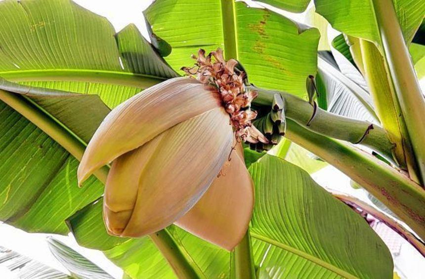 da wachsen die bananen im vorgarten schwetzinger zeitung hockenheimer zeitung mannheimer. Black Bedroom Furniture Sets. Home Design Ideas