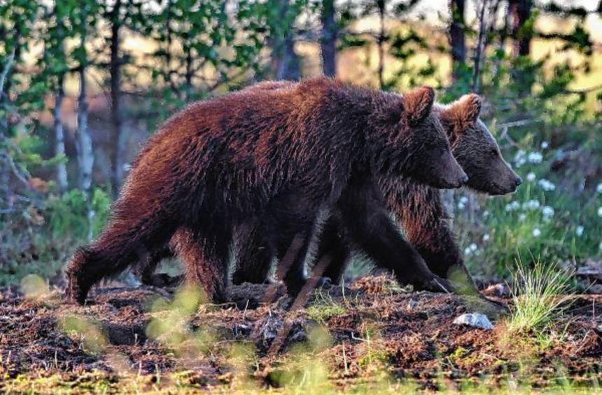 Braunbären in freier Wildbahn hat Jürgen Schneider in Finnland beobachtet - seine Bilder und ...