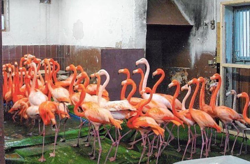 Die Kuba-Flamingos im Heidelberger Zoo haben einen überdachten Ersatzteich bekommen. Auch ...