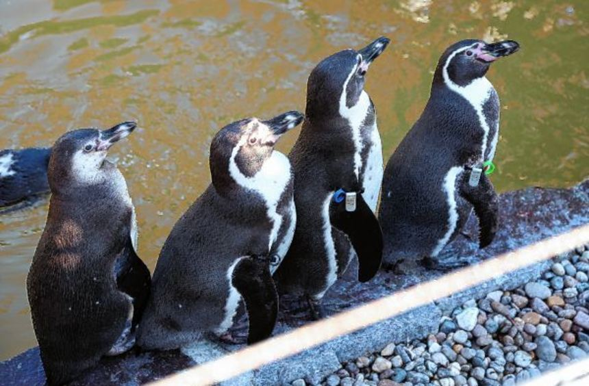 Humboldt-Pinguine im Luisenpark. Die Sicherheitsvorkehrungen für die dort noch lebenden elf wurden ...