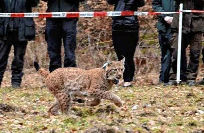 Luchs Arcos nach seiner Freilassung im Pfälzerwald.