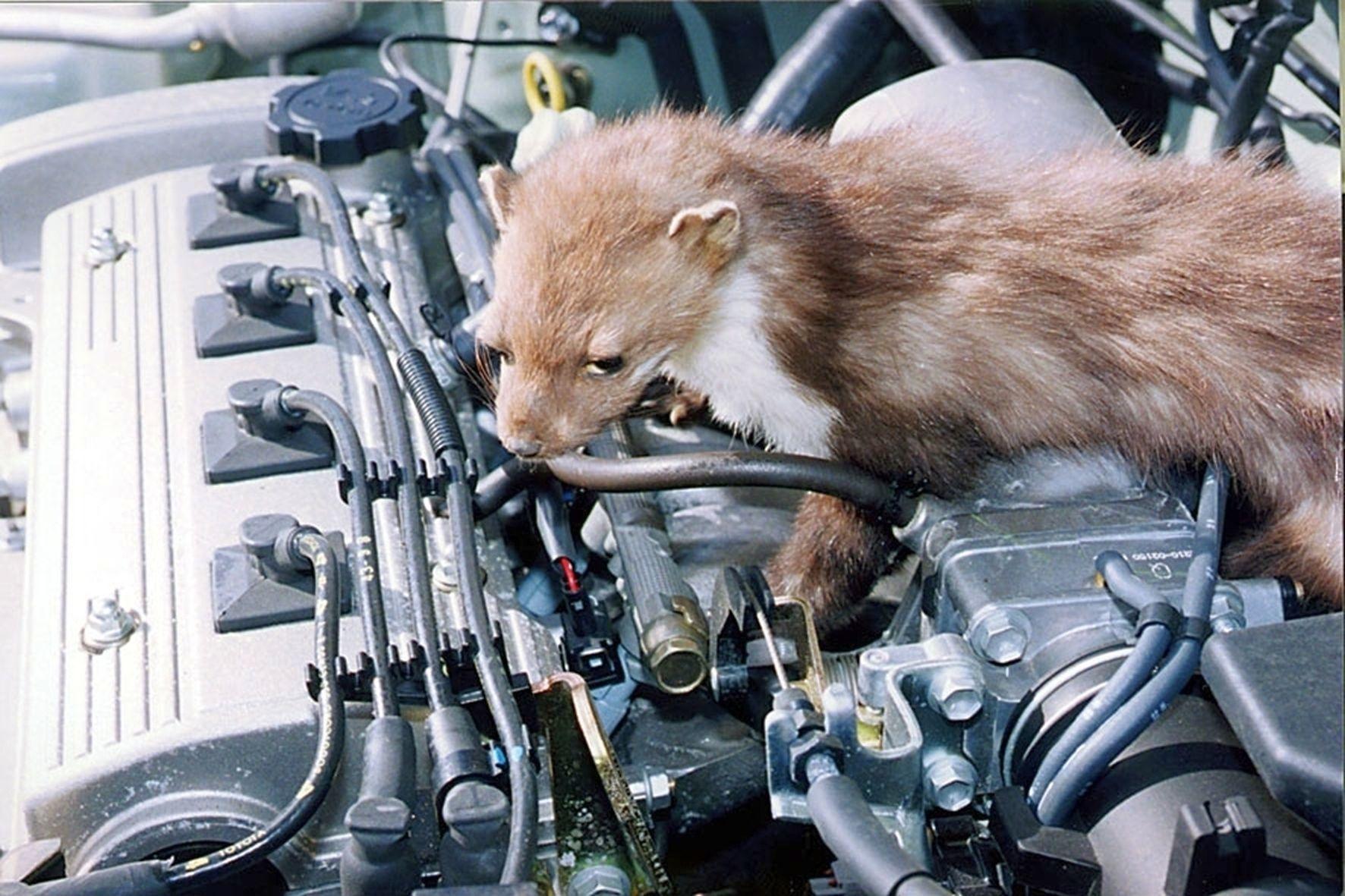 mid Groß-Gerau - Marder vergreifen sich jährlich mehrere Hunderttausend Mal an Kabeln im Motorraum von Pkw.
