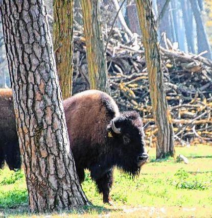 Am Karlstern weiden nur noch Bison-Kühe, die beiden Bullen sind tot.