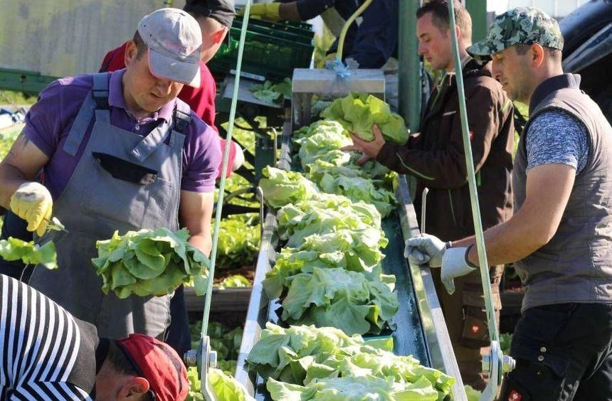 """Über das Ernteband fährt der Salat zu einer """"Mini-Waschanlage"""", in der er von der an- haftenden ..."""