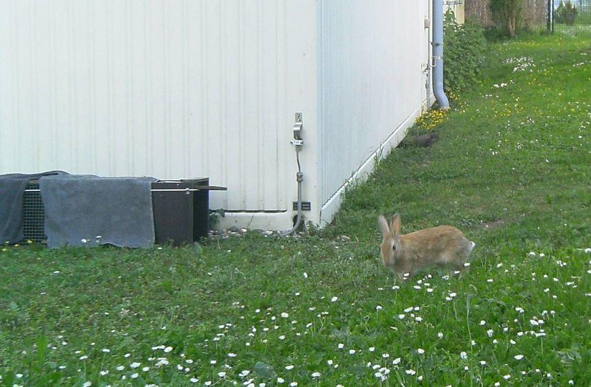 Nur ein Wildkaninchen löste die aufgestellte Wildtierkamera aus. Die Fuchsmutter und ihre vier ...