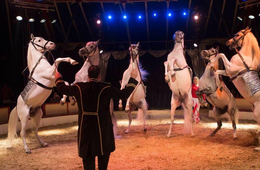 Der Auftritt edler Pferde gehört auch zum Programm des Circus Carelli.