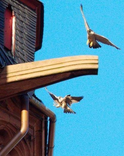 """Ein Stück """"Stadtnatur"""": Falken sind am Kirchturm zu Hause."""