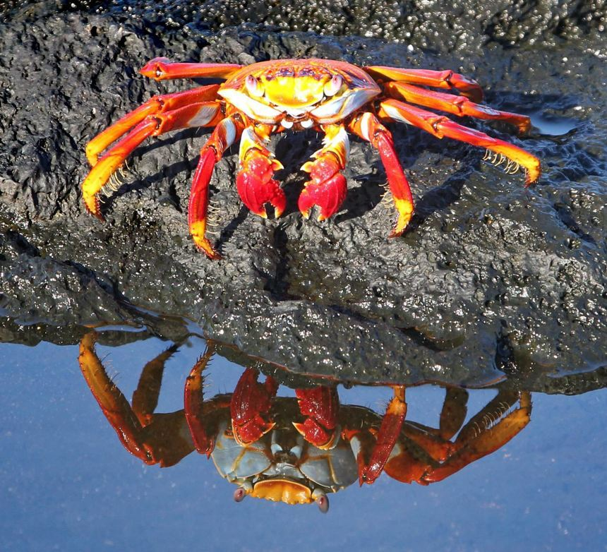 Rote Klippenkrabbe (Salty Lightfood Crab) Grapsus grapsus