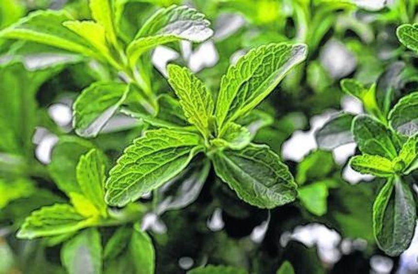 Die Stevia-Pflanze stammt ursprünglich aus Paraguay.
