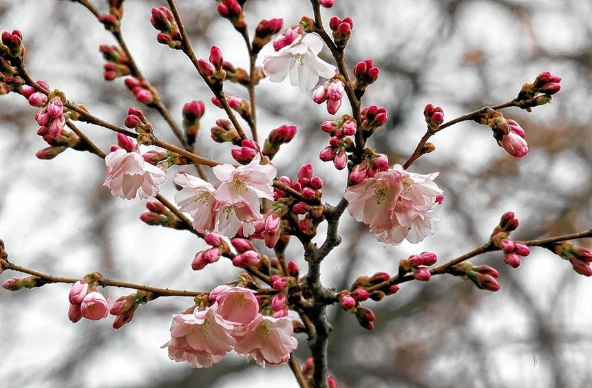 Vereinzelt präsentieren die Zierkirschen jetzt schon ihre Blütenpracht.