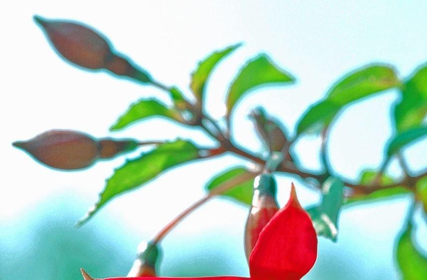 Fuchsien sind besonders empfindlich. Jetzt ist der richtige Zeitpunkt, um zu pflanzen.