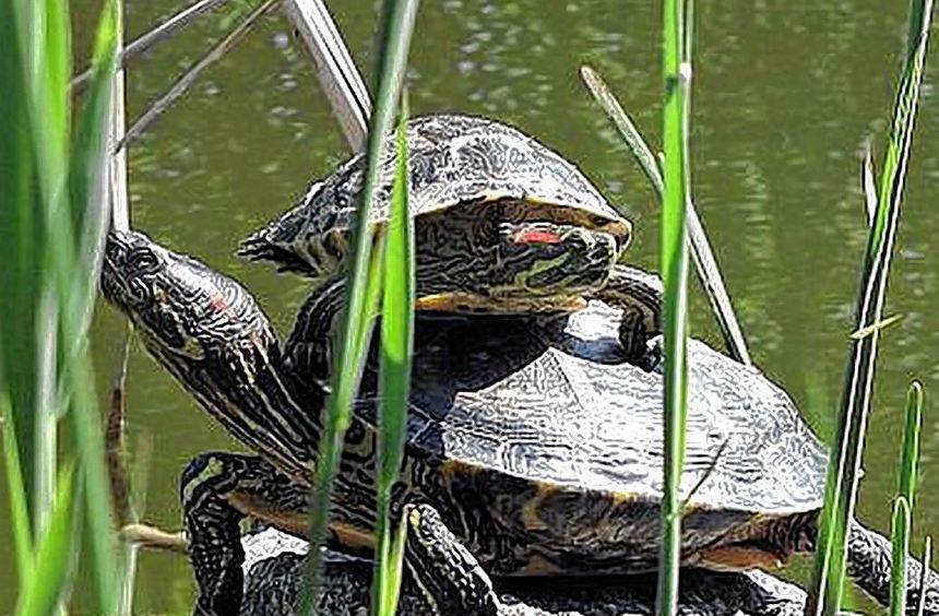 Zwei Rotwangenschildkröten.