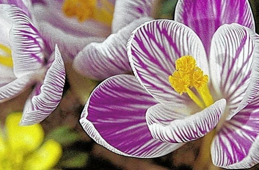 Zwiebelblumen wie der Krokus werden jetzt gepflanzt.
