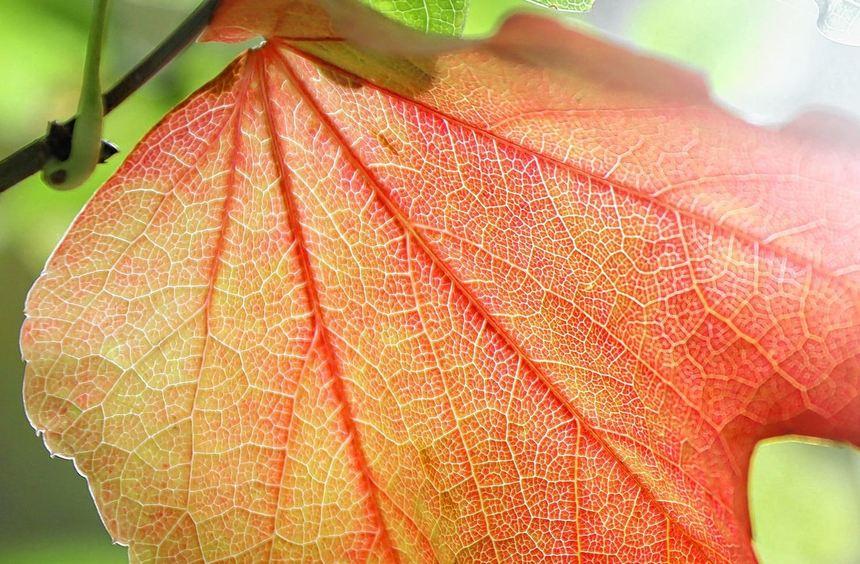 Ein goldener Oktober, wie er im Buche steht - mit herbstlich rot gefärbtem Laub und milden ...