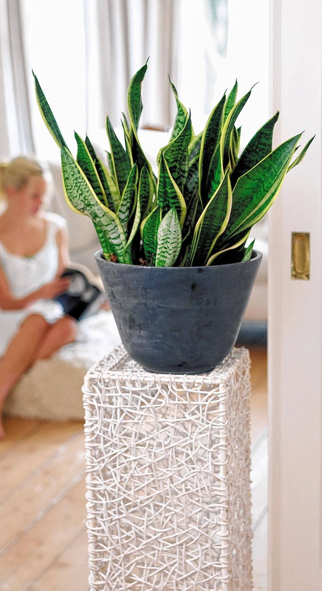gr ne stars der 60er haus garten ratgeber morgenweb. Black Bedroom Furniture Sets. Home Design Ideas