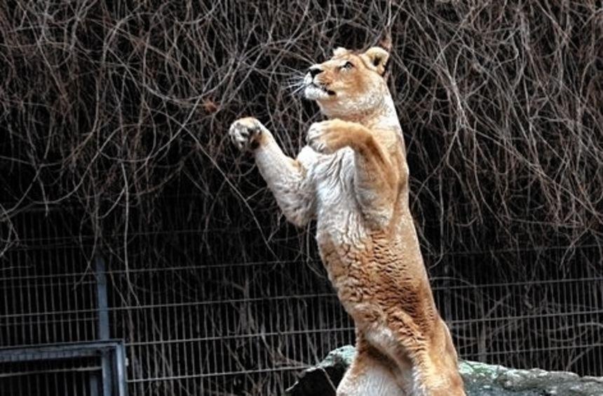 Die großen Katzen sollen ein neues Gehege mit mehr Platz bekommen.