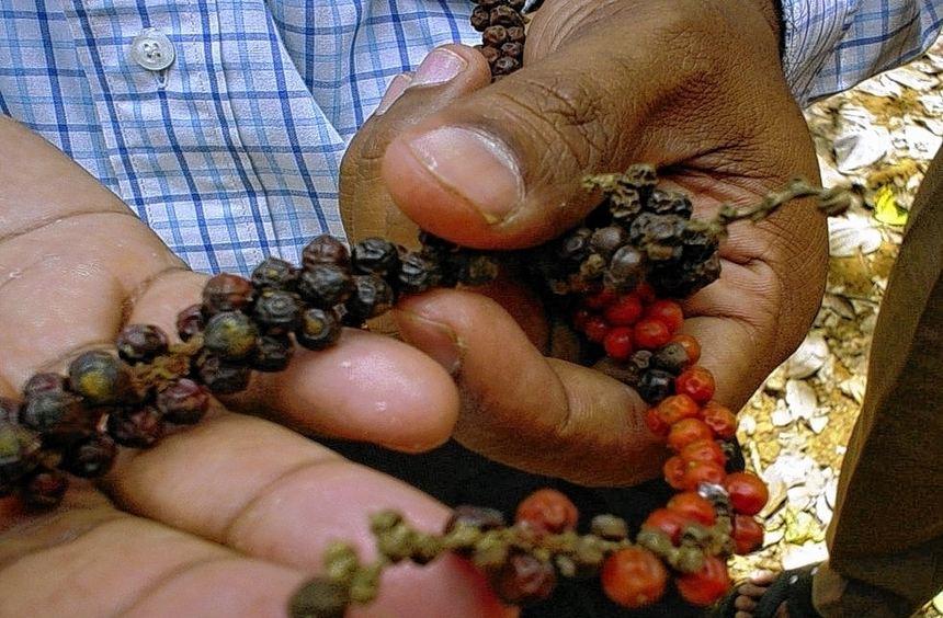 Der rote und schwarze Pfeffer ergeben nach dem Trocknen den handelsüblichen schwarzen Pfeffer.