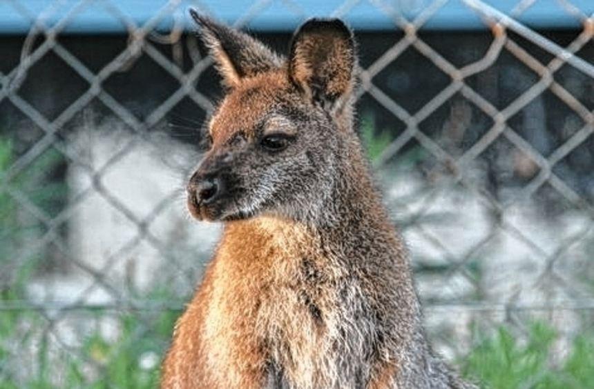 Känguru Sally ist aus einem Gehege in Kenzigen ausgebüxt.