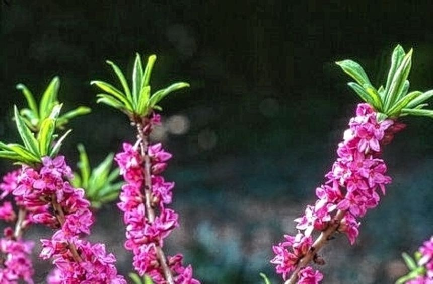Seidelbast macht sich gut im nächsten Frühling.