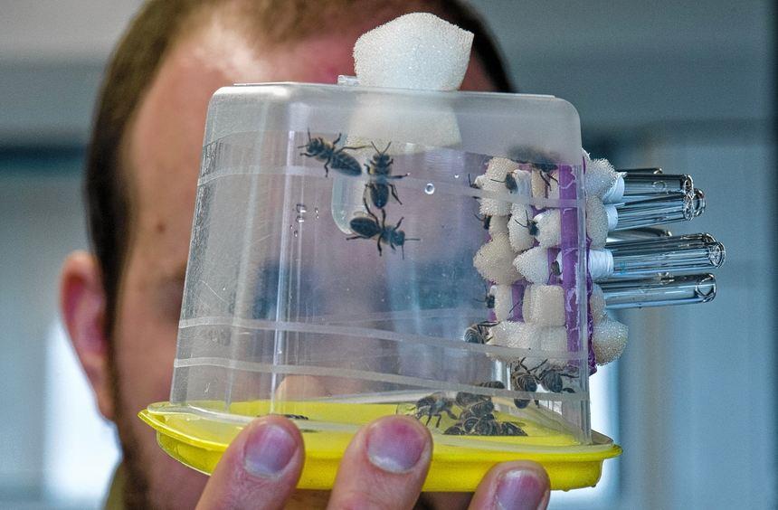 In einer Plastikbox sitzen Bienen. Die Insekten werden hier so konditioniert, dass sie unter ...