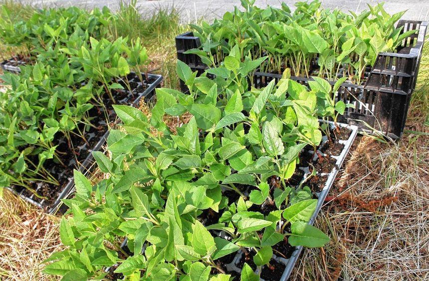"""Die Jungpflanzen der """"Durchwachsenen Silphie"""" bilden im ersten Jahr vor allem ihre Rosetten aus und ..."""