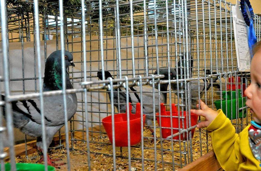 Für die kleinsten war die Begegnung mit dem Federvieh bei der Lokalschau der Zeller Geflügelzüchter ...