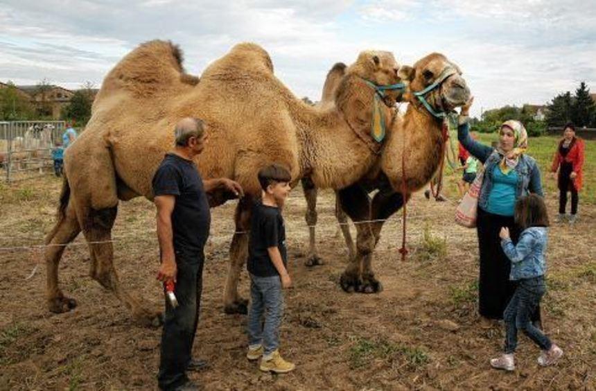 Circus zum Anfassen: Nach der Vorstellung dürfen die Besucher unter Beaufsichtigung die Kamele ...
