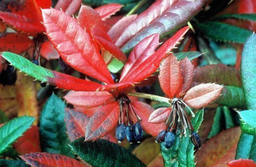 In größeren Gärten kann auch die Großblättrige Berberitze (Berberis julianae) als Hecke gepflanzt ...