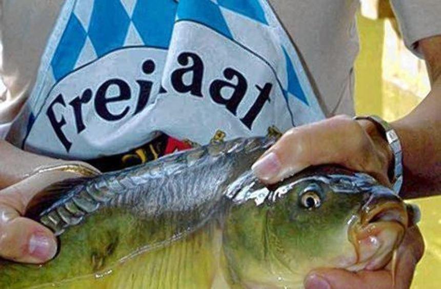 """Frisch aus der Aisch: In den Monaten mit """"r"""" ist Karpfensaison."""