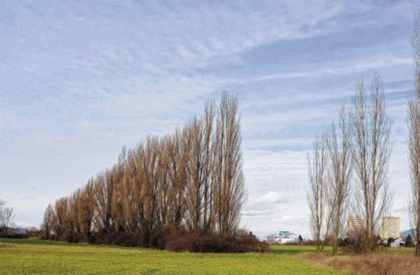 30 Pappeln wurden für das Gewerbegebiet Süd in Heppenheim gefällt. Naturschützer kritisieren, dass ...